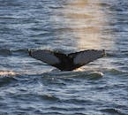A whale spotted in the waters outside of Reykjavík city.