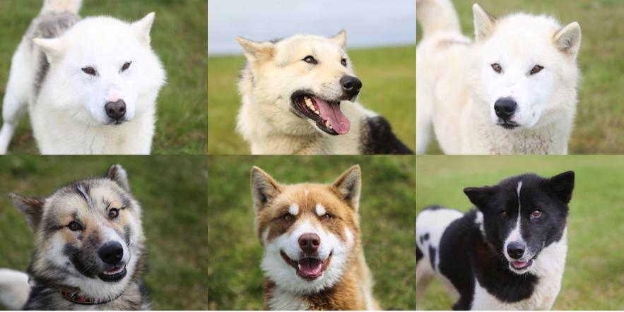 冰島Greenlandic Dog