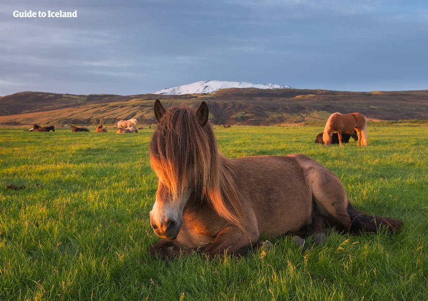 Hekla is easy to see throughout much of South Iceland.