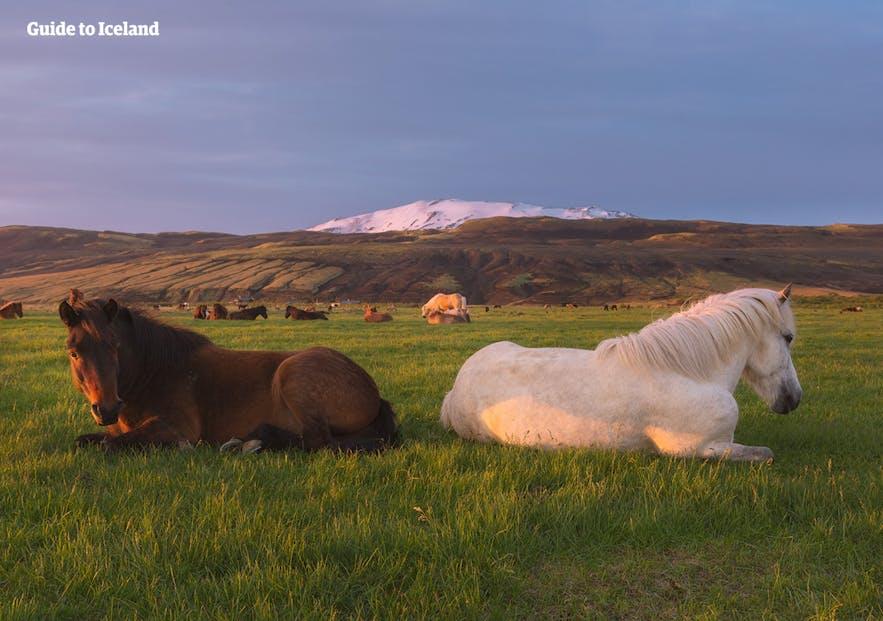 Hekla, stood behind two resting Icelandic horses.