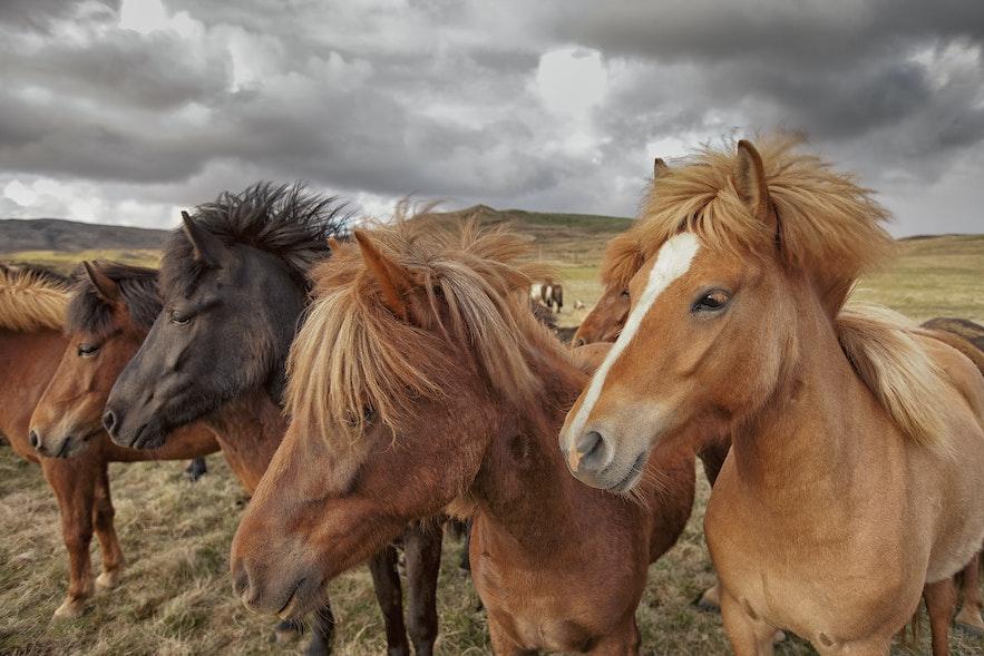 ม้าไอซ์แลนด์ผมพลิ้วอยู่ท่ามกลางสายลม