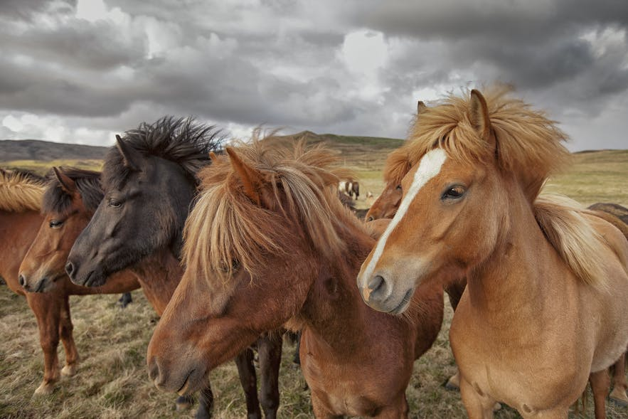 Icelandic horses, their hair blowing in the wind.