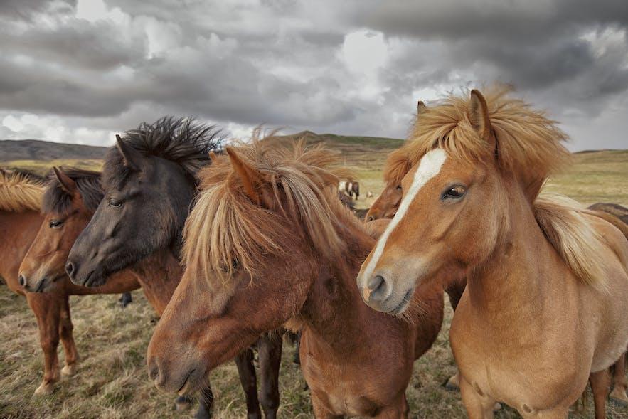 IJslandse paarden met manen die wapperen in de wind.