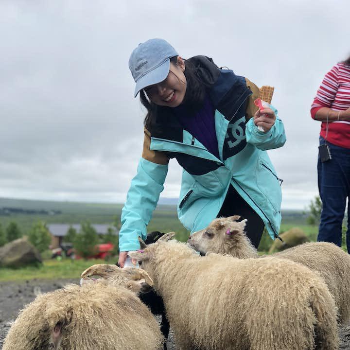 参加旅行团近距离接触冰岛羊,体验冰岛农场的趣味