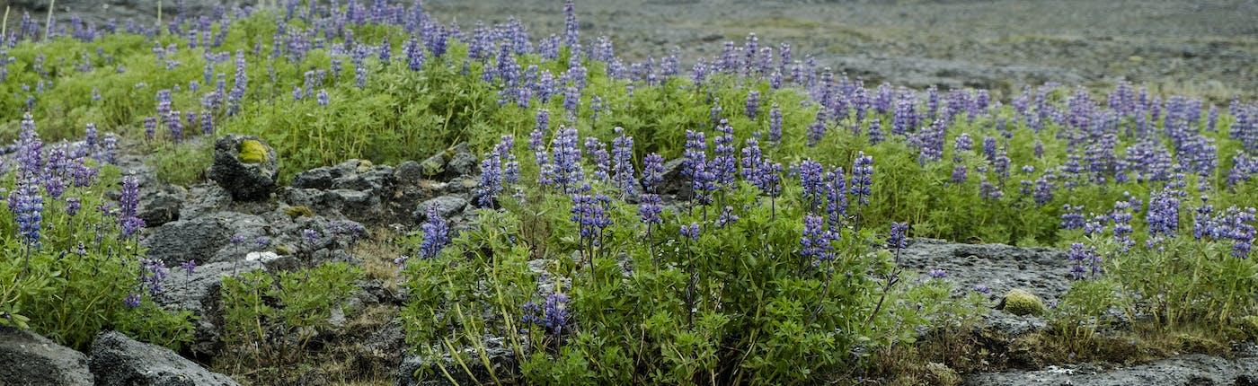 Lupinen auf der Halbinsel Reykjanes