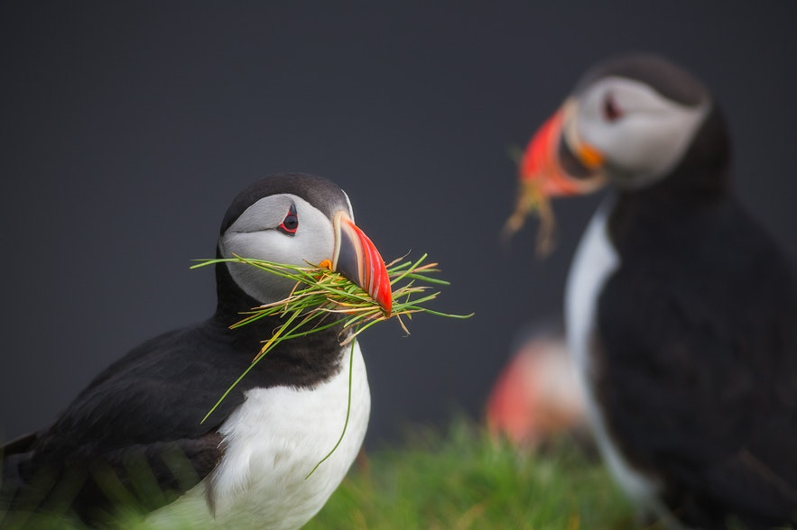 A sweet little puffin building its nest on the Icelandic coast.
