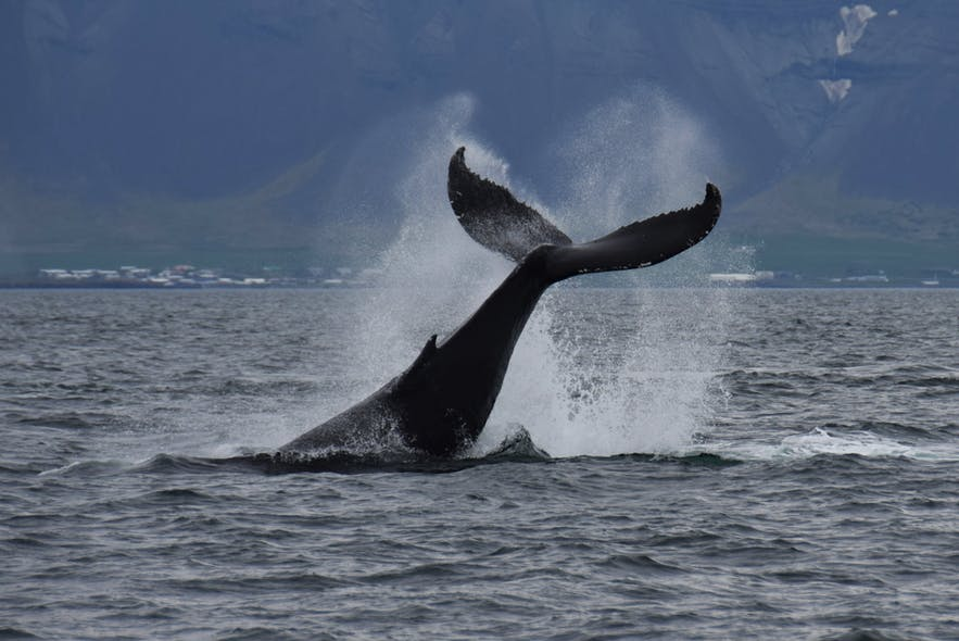 Whale watching is the most popular activity for visitors to Iceland.