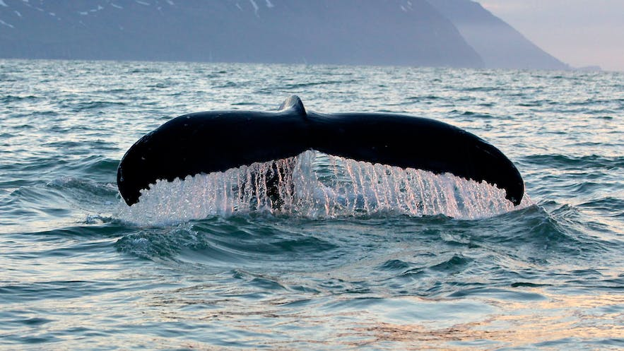Whale watching in Iceland promotes research, conservation and understanding, unlike whaling, which promotes the destruction of species, ill-thought economics and a step in the wrong direction.