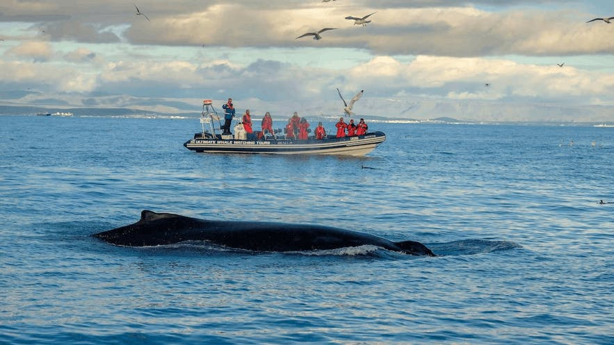 It is possible to go whale watching in Iceland on a number of different sized vessels.