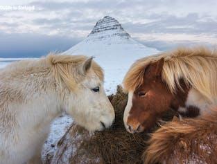 Chevaux islandais devant le mont. Kirkjufell sur la péninsule de Snæfellsnes.
