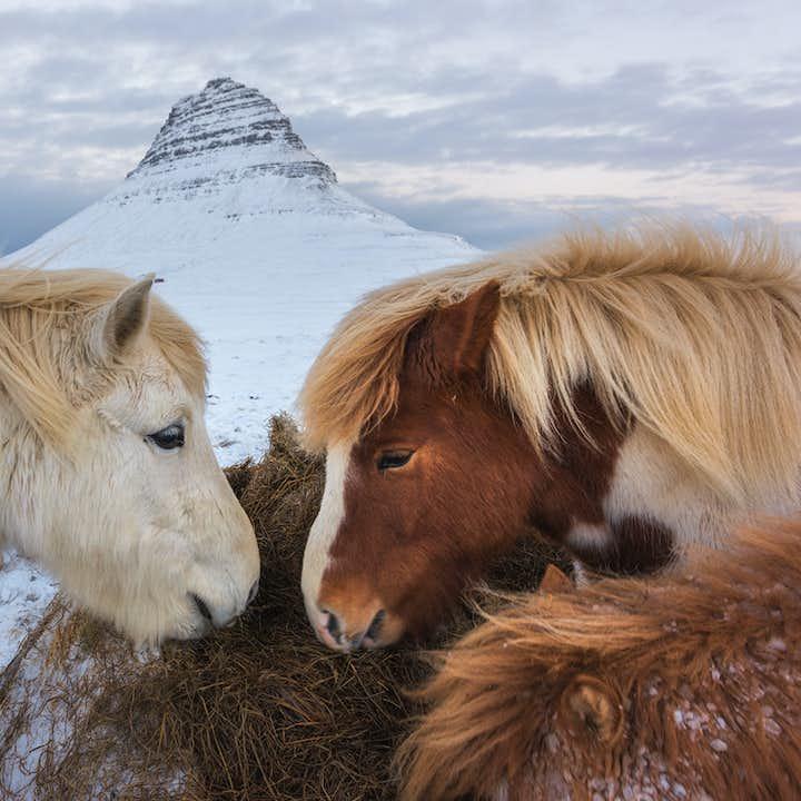 Icelandic horses in front of Mt. Kirkjufell on the Snæfellsnes Peninsula.