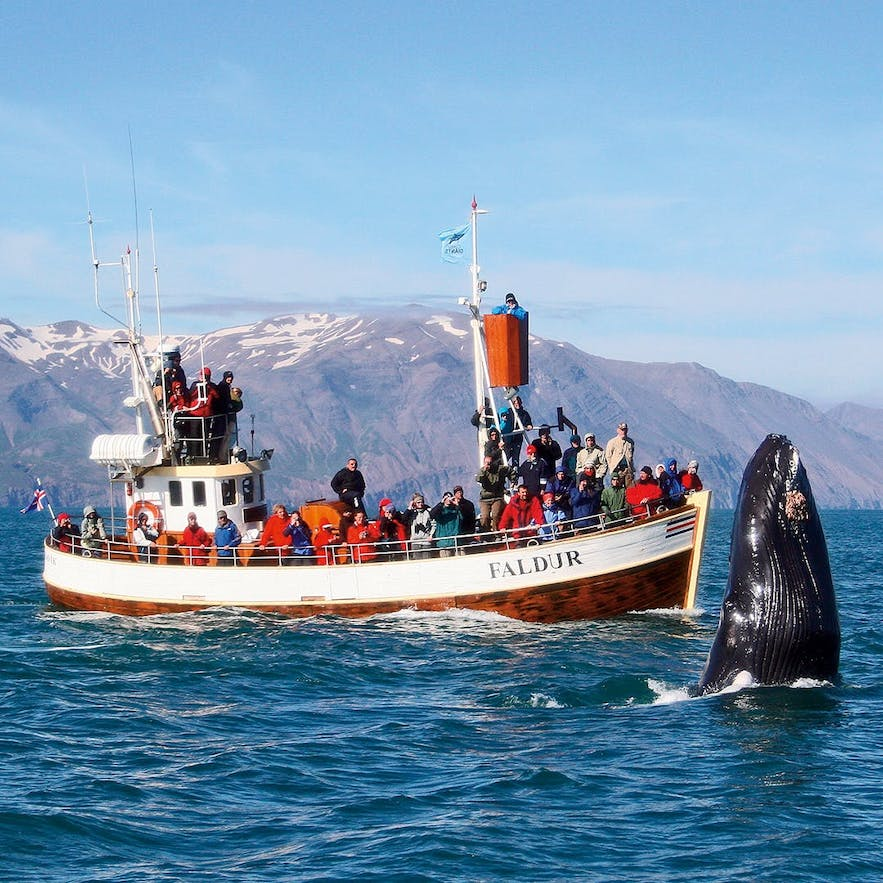 Husavik in north Iceland is an amazing place to whale-watch in summer.