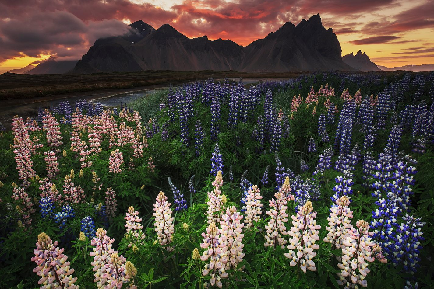 The beautiful Lupines of summer provide a perfect foreground for this wonderful sunset behind the dramatic peaks of Vestrahorn mountain.