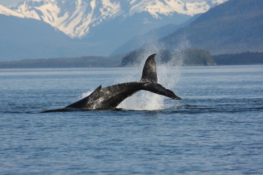 冰岛北部阿克雷里观鲸