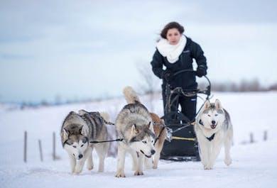 Dog Sledding with Husky on Snow | Akureyri, North Iceland
