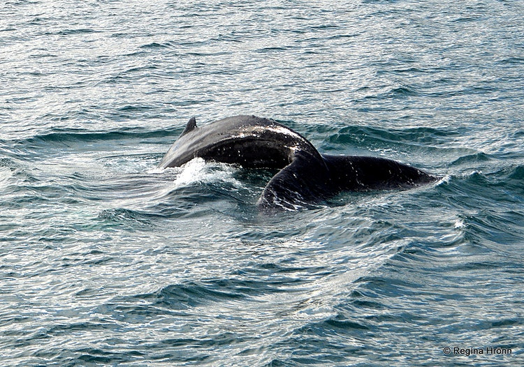 Whale Watching from Húsavík - the Whale Watching Capital of Iceland & a Visit to the Whale Museum