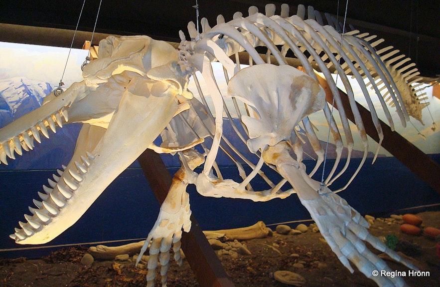 Whale skeleton in the Whale museum in Húsavík