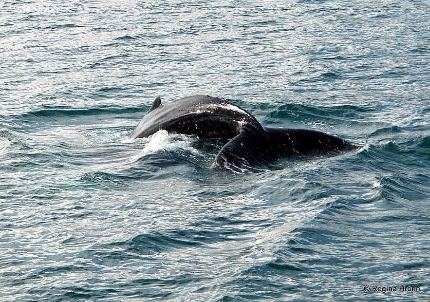 Whales on a whale watching tour from Akureyri