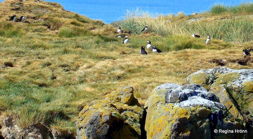 Birdlife in Breiðafjörður bay, west Iceland