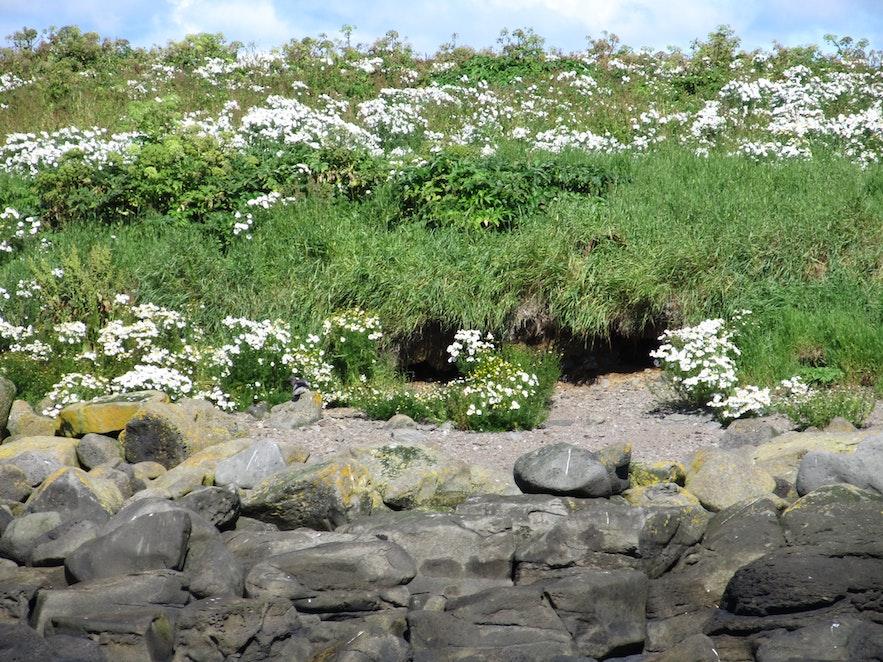 アークレイ島にあるパフィンの巣