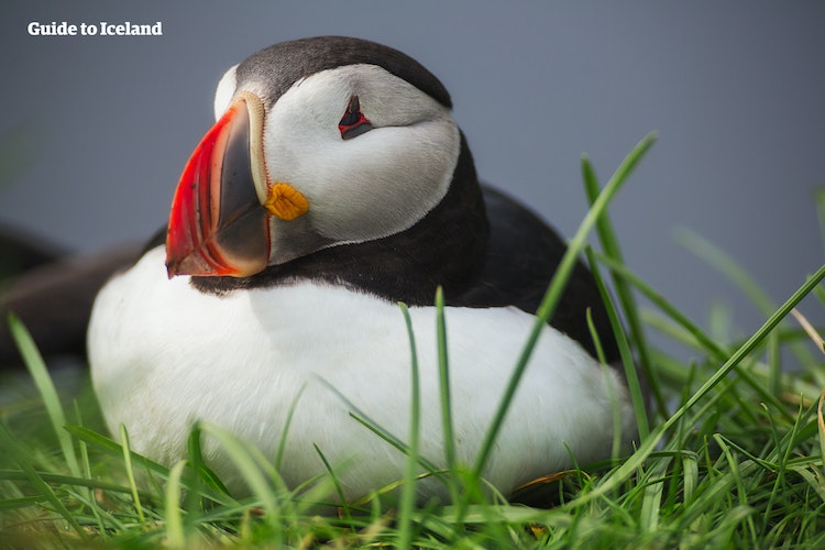 Puffins are residents of Eyjafjordur from May to September.