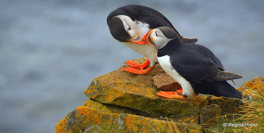 Puffins at Látrabjarg bird cliff in the Westfjords of Iceland