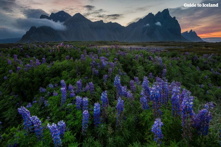 夏季时以鲁冰花为前景拍摄西角山是个不错的选择