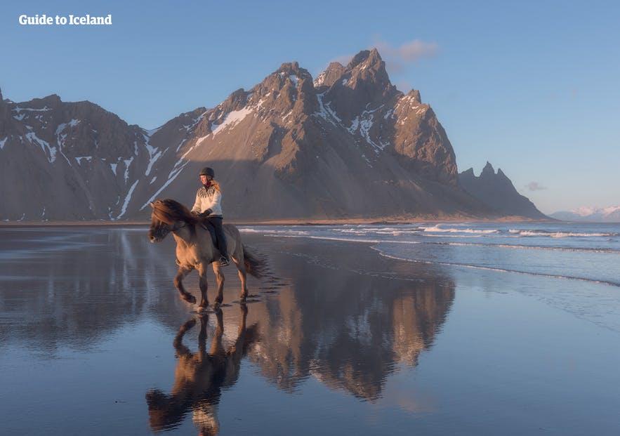 Исландская лошадь известна своим мягким нравом и очень умна.