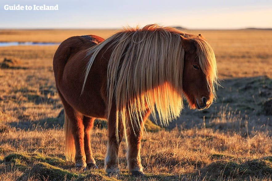 An Icelandic horse in the long lasting golden hour of the midnight sun.