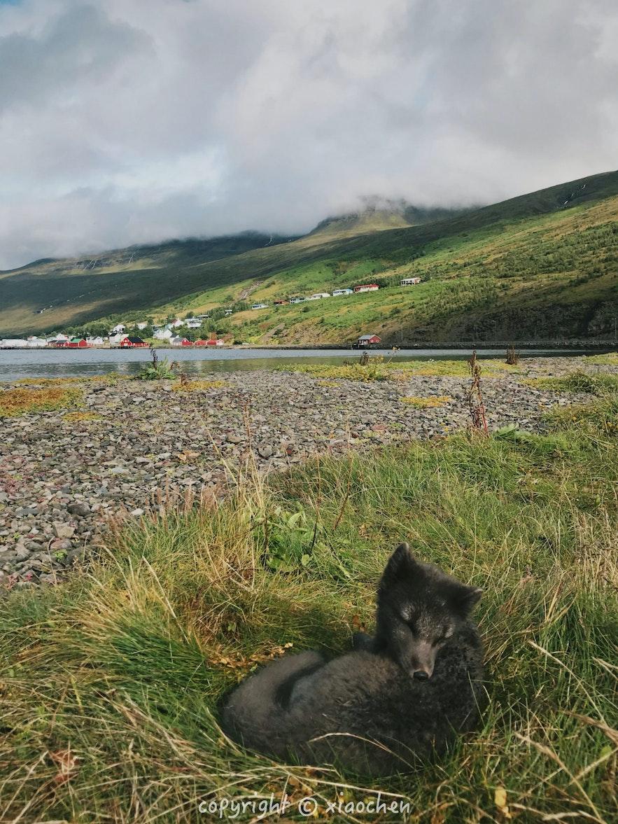 夏季时的北极狐有灰黑色的皮毛做保护色,冬天才变成白色