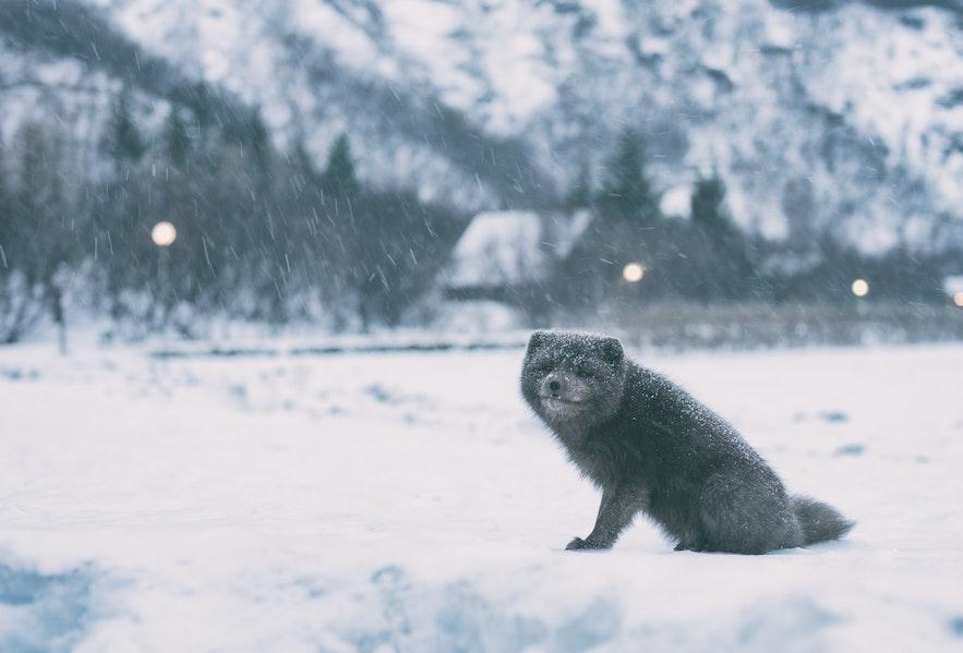 北极狐在冬季需要换上白色的皮毛,图片来自:Jonatan Pie