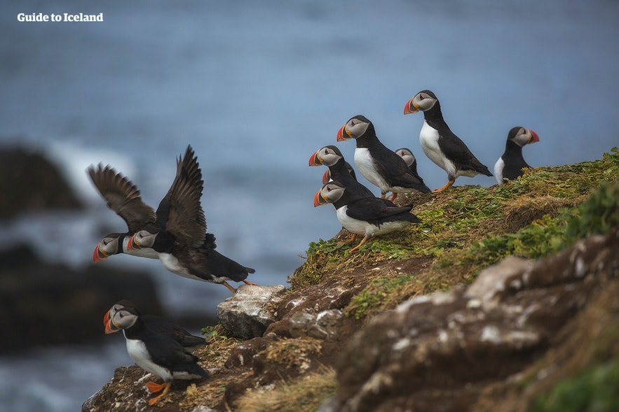 In the summer months, many come to Grímsey to see the Atlantic Puffins.