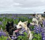 Hundeschlitten-Tour | Treffpunkt vor Ort (nahe Reykjavík)