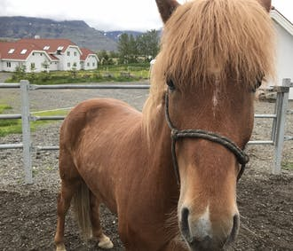 Horseback Riding and Lunch with Locals near Reykjavik
