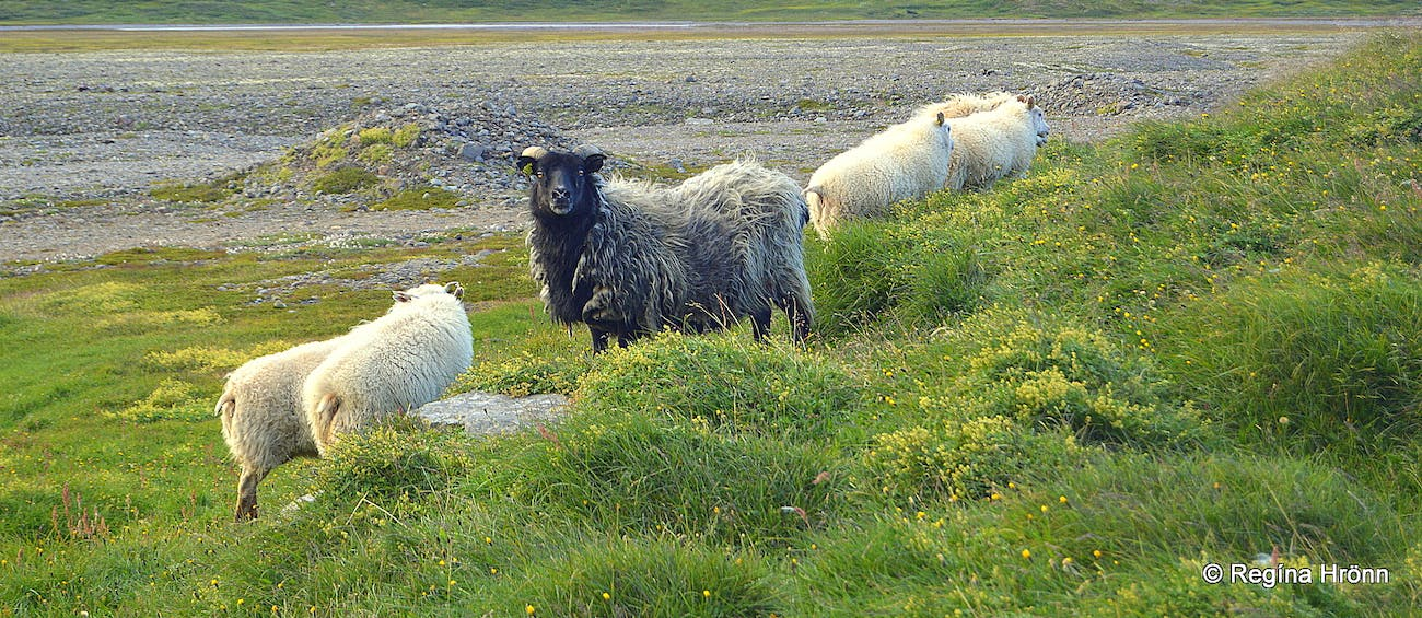 A Visit to Réttir - the Annual Round up of the Icelandic Sheep