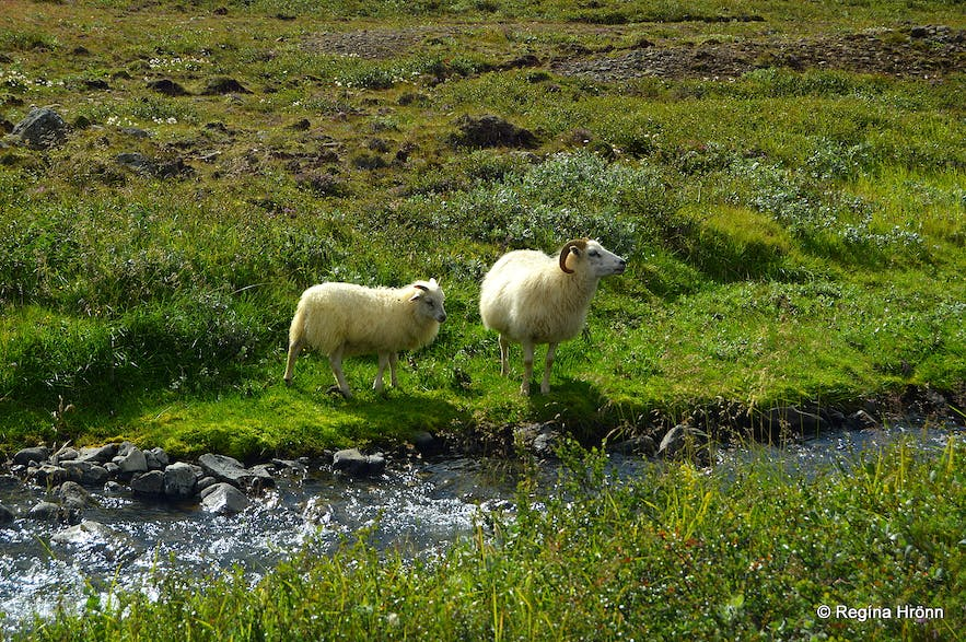 Sheep on the hike to the elf-stone
