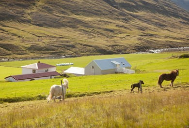 Horses in the Midnight Sun | East Iceland Riding Tour