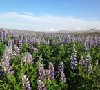 Lupine flowers as far as the eye can see