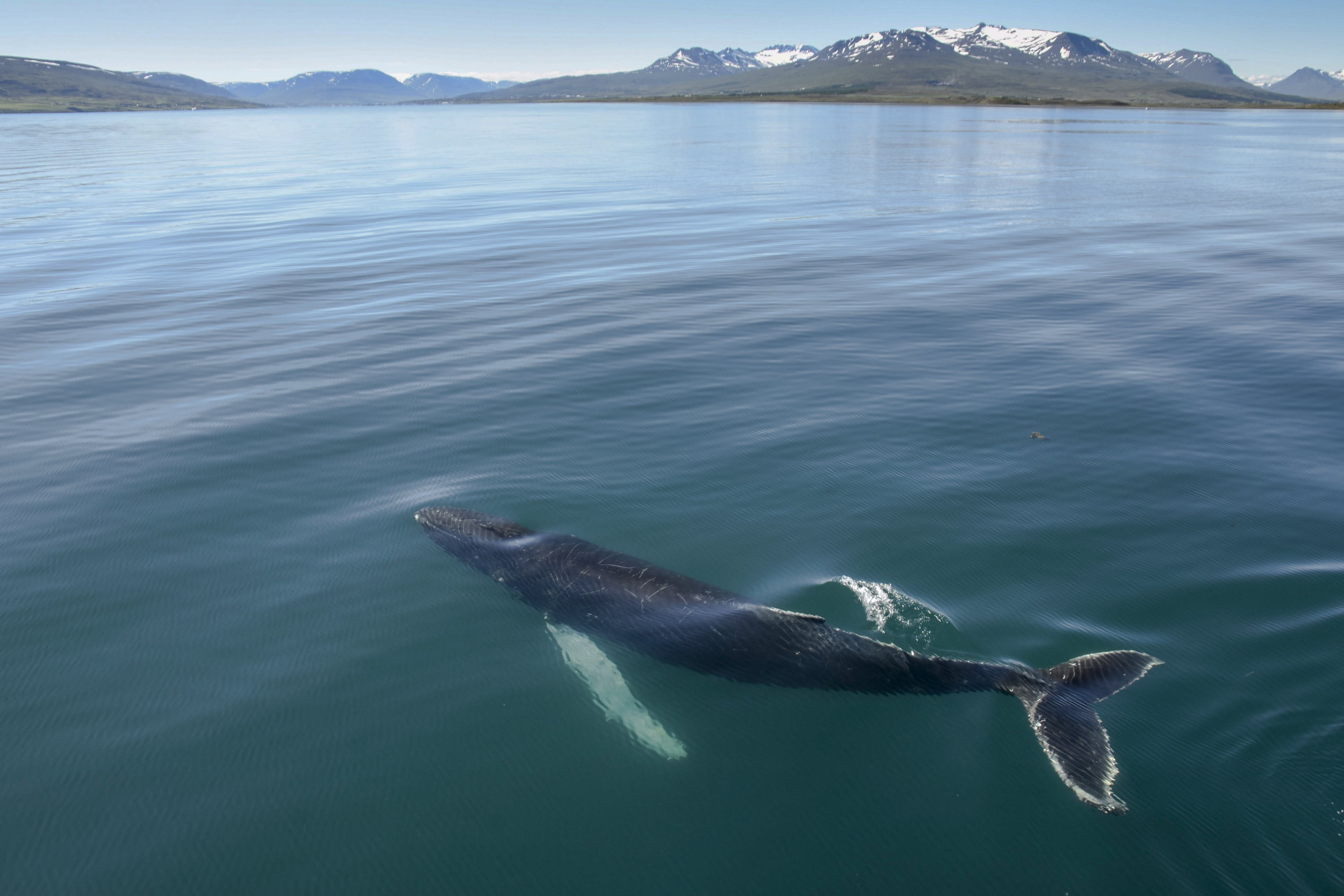 A majestic Humpback Whale rises to the surface of a fjord in north Iceland.