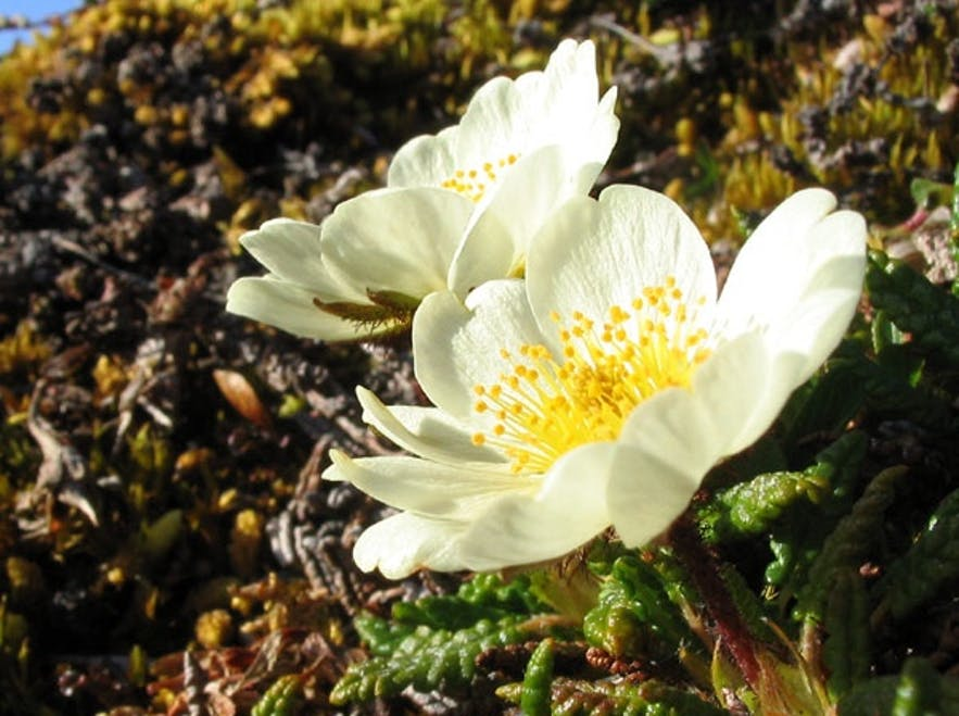 Mountain avens in the Icelandic countryside