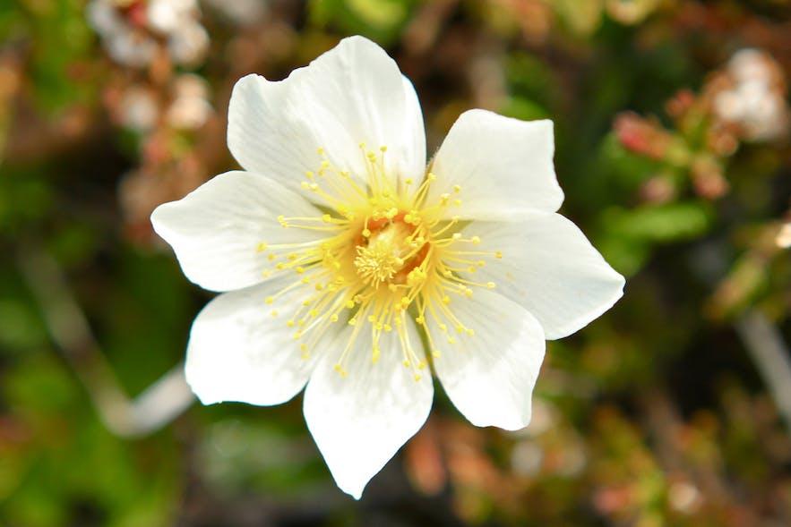 Holtasóley, the national flower of Iceland.