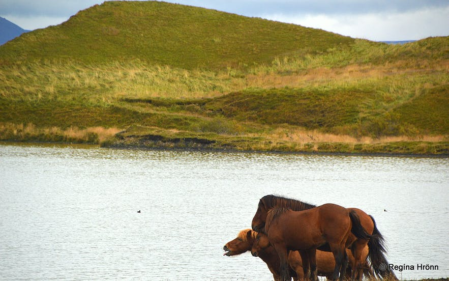 Horses by Lake Mývatn