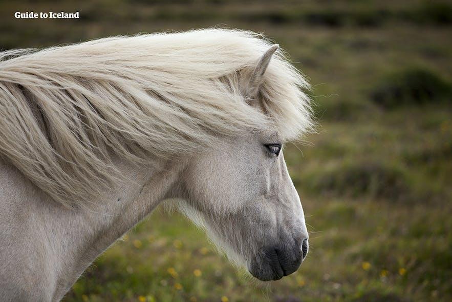 在風中的冰島馬