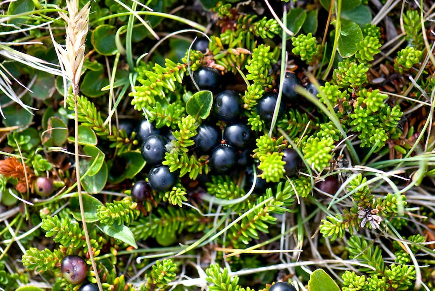 Crowberry and small and black and often bitter to taste.