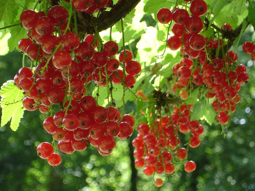 Red currants are popular to make into jelly.