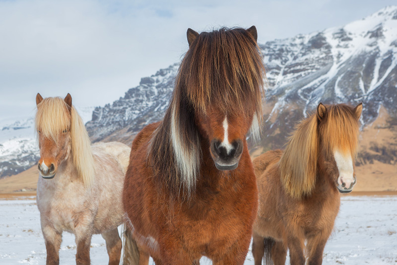 Icelandic horses on a winter day.