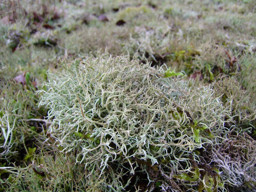 Iceland moss is confusingly not actually a moss but a lichen.
