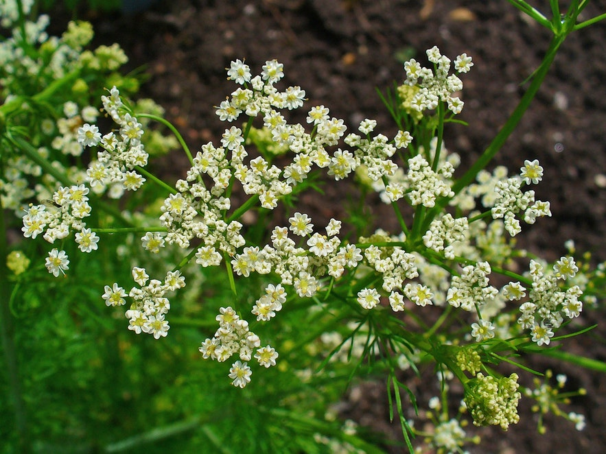Caraway grows wild in Iceland.
