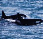 Orcas are found in Iceland's waters.