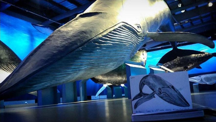 冰岛首都雷克雅未克的鲸鱼博物馆中展出了实体大小的鲸鱼模型
